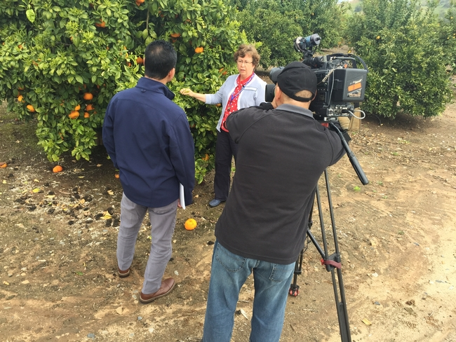 Beth Grafton-Cardwell speaks with ABC30 reporter Dale Yurong, left, and cameraman Sam Gill at the UC Lindcove Research and Extension Center.