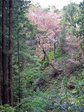 A Big Sur tan oak that succumbed to sudden oak death.