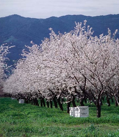 Bee hives in a California almond orchard.