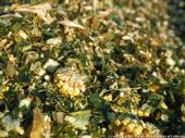 Corn silage livestock feed.