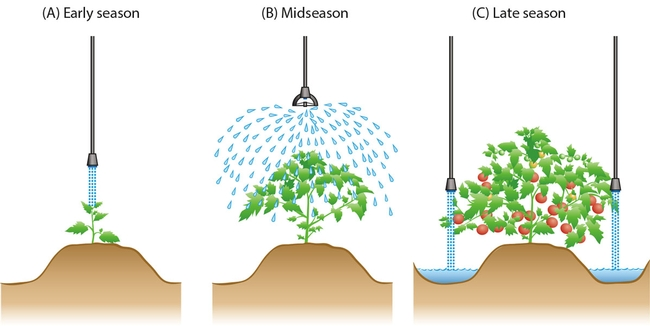 Overhead irrigation application methods and locations of application devices change as the plant grows. (Photo: California Agriculture journal)