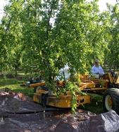 Mechanical peach thinning research by UC Cooperative Extension.