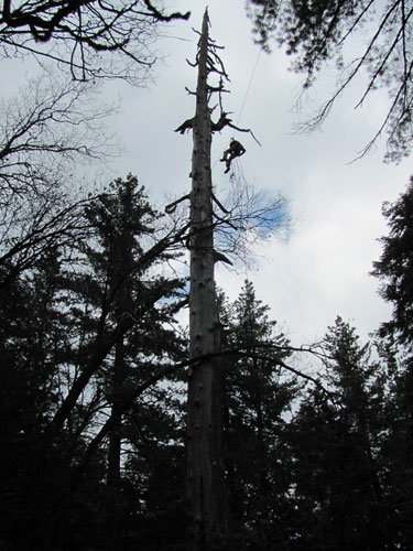 UC research crew member uses tree climbing equipment to reach orphan fishers in an unstable snag.