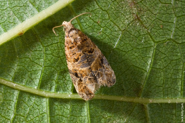 The European grapevine moth has been eradicated in California. (Photo: Jack Kelly Clark)