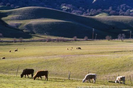Beef grazing grassland.