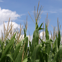 Few genetically engineered crops - probably only corn and alfalfa - are known to grow in Sonoma County. (Photo: Wikimedia Commons)