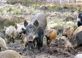 Wild pigs can cause serious environmental damage. (Photo: Silvia Duckworth, Wikimedia Commons)