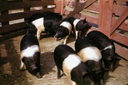 Black and white swine.