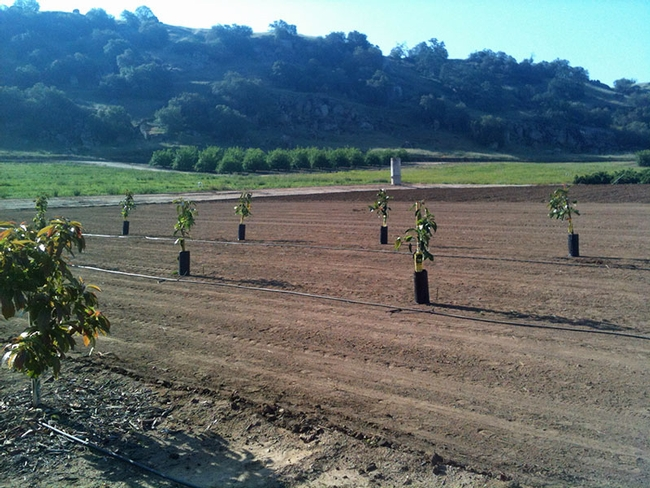Avocados planted in a research plot at the UC Lindcove Research and Extension Center.