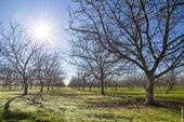 Insufficient chill hours can delay the opening of leaf and flower buds in crops such as walnuts, which may result in a smaller yield. (Photo: Will Suckow))