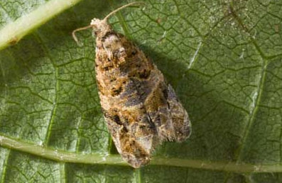 European grapevine moth.
