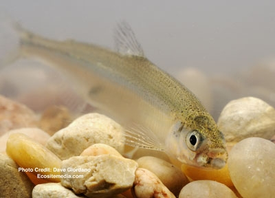 The fate of delta smelt is one issue in California's water wars.