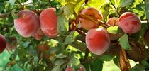 California grown plums can be sourced sustainably to help meet the goals of the UC Global Food Initiative. for ANR News Blog Blog