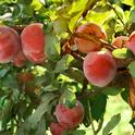 California grown plums can be sourced sustainably to help meet the goals of the UC Global Food Initiative.