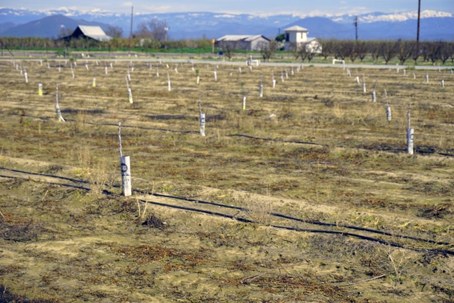 Weeds will compete with a new orchard for water, sun and nutrients, and interfere with harvest in mature orchards. Weeds in this orchard were killed with an herbicide.