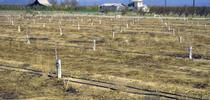 Weeds will compete with a new orchard for water, sun and nutrients, and interfere with harvest in mature orchards. Weeds in this orchard were killed with an herbicide. for ANR News Blog Blog