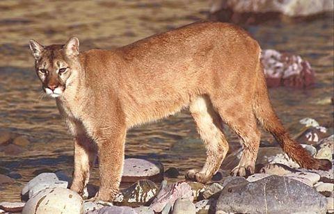 Mountain lion (Photo: Wikimedia Commons)