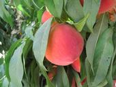 The Elegant Lady peach is one of many excellent varieties that are produced in abundance by California peach growers.
