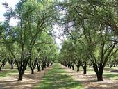 UCCE advisor Blake Sanden conducted trials in an almond orchard like this one to confirm data produced by Ceres Imaging.