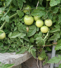 Most California tomatoes are not yet ready to be harvested.