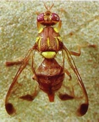 Melon fruit fly is about the size of a house fly.