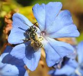 The new Modesto garden will attract native pollinators, such as this sweat bee. (Photo: K. Garvey)