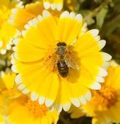 Honey bee on tidy tips, a native California wildflower. (Photo by Kathy Garvey)