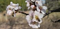 As blossoms begin to pop on Central California fruit and nut trees, farmers are worried about the low levels of rainfall seen in the state so far this winter. for ANR News Blog Blog