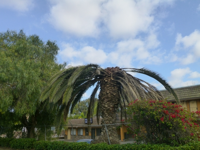 A Canary Island Palm in San Ysidro killed by South American palm weevils.