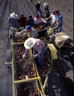 Potato harvest on a California farm.
