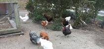 Elkus hens for ANR News Blog Blog