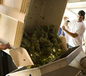 Students work on the fall crush in the new winery.