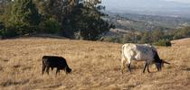 Targeted cattle grazing can reduce fire risk and help maintain natural resources. for ANR News Blog Blog