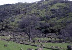 Native blue oak trees.