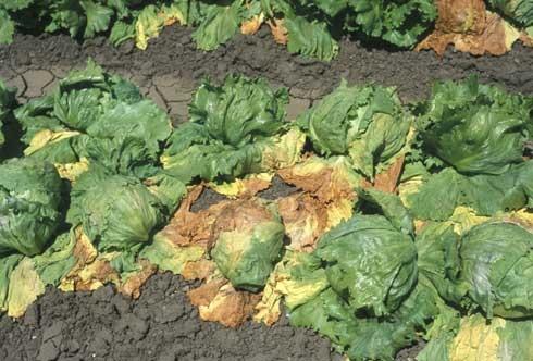 Lettuce with verticillium wilt.