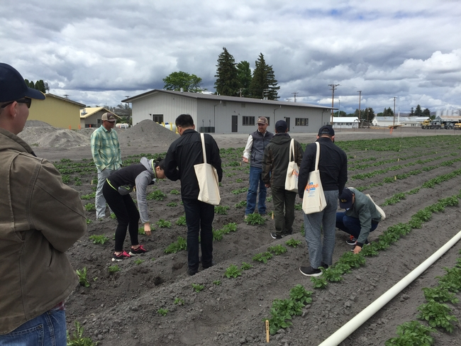 Chinese agricultural scientists explore a  potato research field at UC ANR's Intermountain Research and Extension Center in Tulelake.