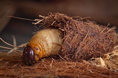 Red palm weevil larva emerges from its cocoon.