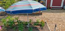 A patio umbrella can be used to shade plants during a heat wave. (Photo: Wendy Powers) for ANR News Blog Blog