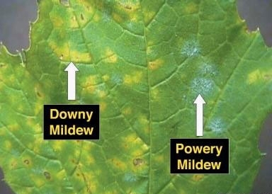 Downy mildew and powdery mildew on a grape leaf.