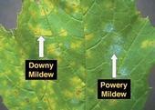 Downy mildew and powdery mildew on a grape leaf.