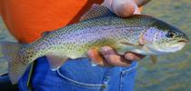 It is unlikely steelhead trout will return to the LA River. (Photo: Wikimedia Commons) for ANR News Blog Blog