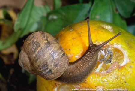 Common garden snails can be a sustainable food source.
