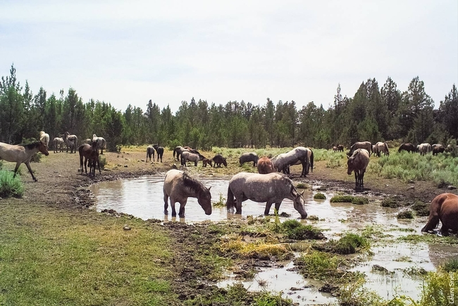 A herd of horses visits a spring at Devil's Garden wild horse territory. (Photo: Laura Snell)