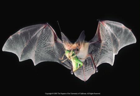 Bats help organic farmers by feeding on crop pests.