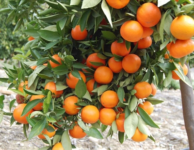 Mandarins make lovely holiday gifts.