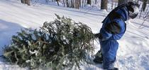 Smart harvest of Christmas trees can help thin the forest. (Photo: USDA) for ANR News Blog Blog