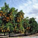 An orange orchard at Lindcove Research & Extension Center. The 2018 Farm Bill provides grants for citrus research.