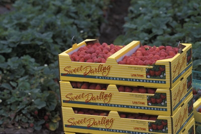 Strawberry production will drop under methyl bromide phase-out.