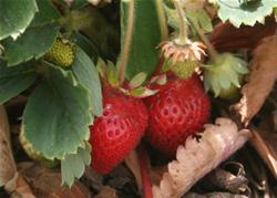 California strawberries