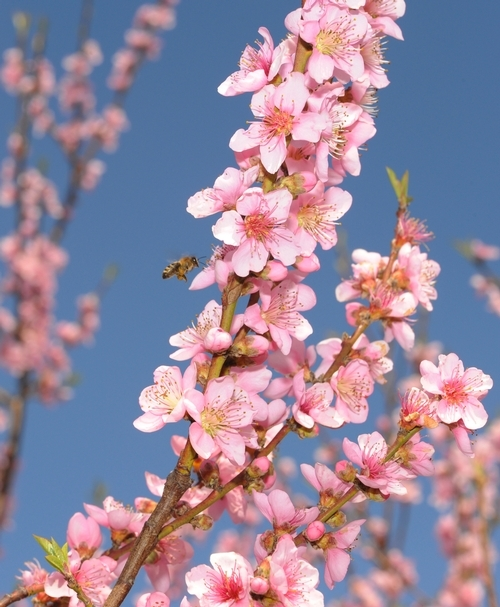 A honeybee approaches peach blossoms. (Photo: Kathy Keatley Garvey)